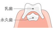 永久歯の出来方